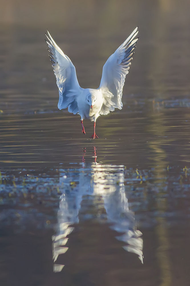 Black Headed Gull Justin Garner