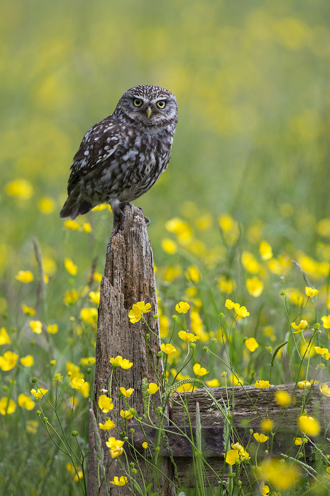 Little Owl Justin Garner
