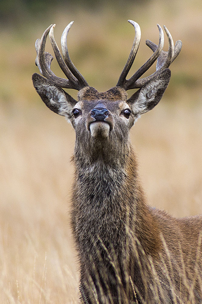 Red Deer Justin Ganrer