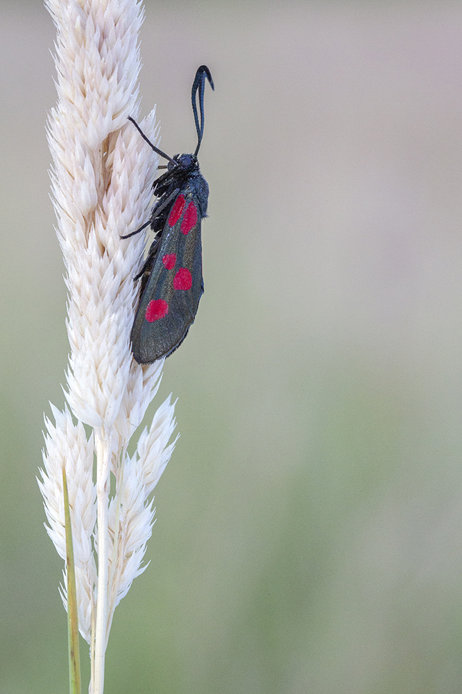 Six spotted Burnet Justin Garner