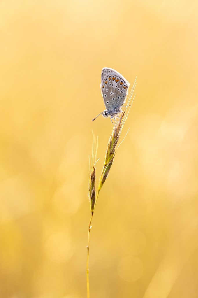Common Blue Justin Garner